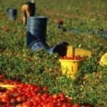 Italia: morire nei campi per € 3,00 l'ora