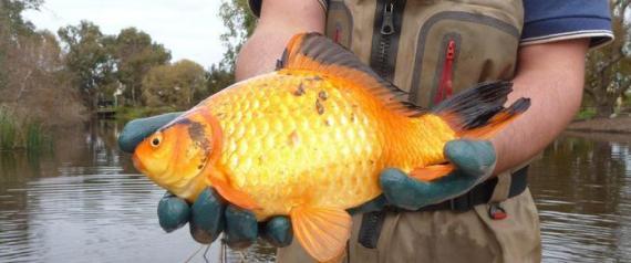 Pesci rossi pericolosi per i fiumi e i laghi andrew 39 s blog for Quanto vivono i pesci rossi